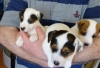 adorables-chiots-jack-russell Abilly ( 37160 ) - Indre et Loire