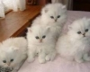 adorable-chaton-persan Monts ( 37260 ) - Indre et Loire