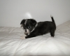 chiot-chihuahua-trop-cool-a-donner Boulay ( 37110 ) - Indre et Loire