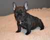 male-and-female-french-bulldog-puppied-for-sale Pussigny ( 37800 ) - Indre et Loire