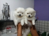 disponible-chiots-spitz-nain-blanc Abilly ( 37160 ) - Indre et Loire